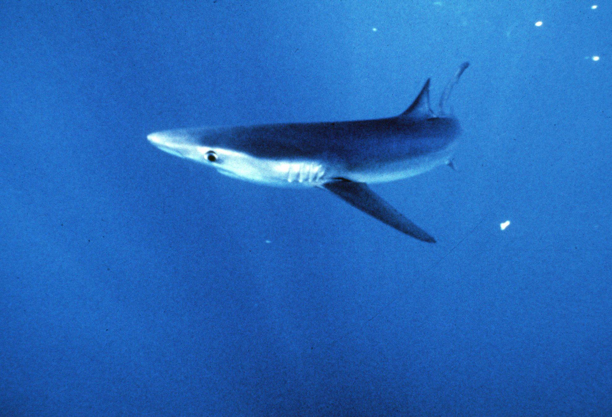 Un tiburón azul muerde a un tripulante de un pesquero | Ideal