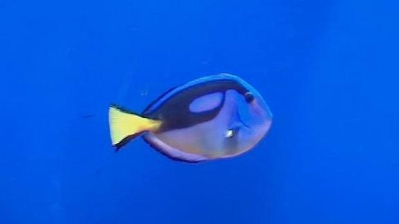 Matando A Nemo Peces Para Peceras Cazados Con Cianuro Ideal